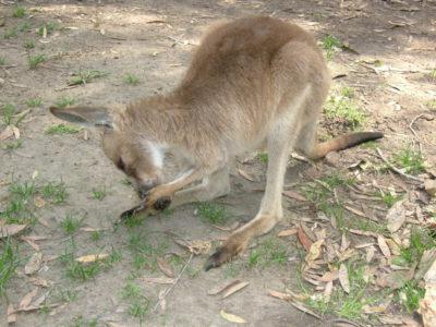 MSWellTravel_Australien Känguru