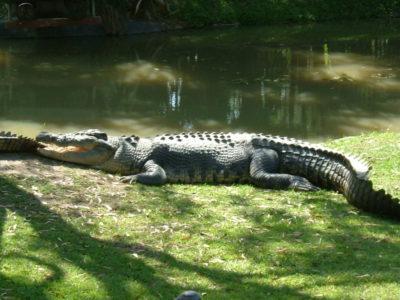 MSWellTravel_Australien Krokodil